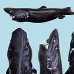 Új fajt fedeztek fel, a nindzsacápát