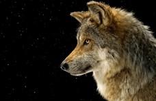 Egy egész farkasfalkát fotóztak le a Bükkben
