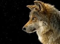 Jól vizsgázott a farkastörvény Macronéknál