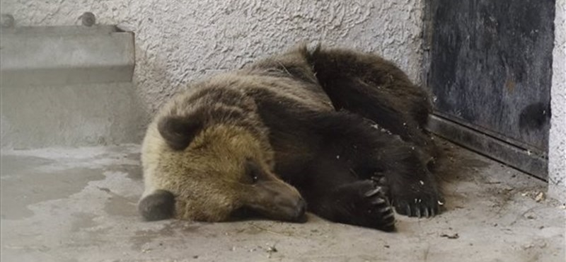 Közmédia: Akár 4-5 medve is kóborolhat Észak-Magyarországon