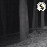 Mozgalmas éjszakáik vannak az Aggteleki Nemzeti Park hiúzainak – videó