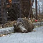 Nem bírnak a vaddisznókkal a Balatonnál, ezért kilőnének párat