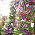 A 3 legszebb kerti kúszónövény