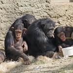 Zoomon kapcsolták össze két cseh állatkert csimpánzait, most egymást nézik a tévében