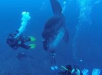 Van ám nagyobb is az Ausztráliánál talált holdhalnál, ez például akkora, mint két ember – videó