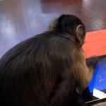 Játékos állatok 4: majmok játszanak Angry Birds Space-t a táblagépen! [videó]