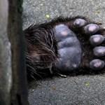 Már a román korrupcióellenes ügyészség is vizsgálja a Székelyföldön kilőtt hatalmas medve ügyét
