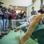 Saját őssejtjeit felhasználva műtötték meg Igort, a szegediek tigrisét