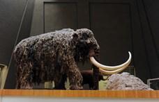 Génhibások voltak az utolsó mamutok