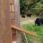 Ilyen higgadtan még ember nem tessékelt ki medvéket az udvarából – videó