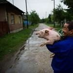 Visítottak az adománymalacok Borsodban - Nagyítás-fotógaléria
