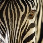 Mi ellen védenek valójában a zebrák csíkjai?