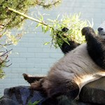 Hogyan váltak a pandák húsevőből vegánná?