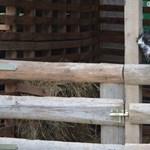 Egy 28 éves férfi fejezhette le a kaposvári kutyamenhely kecskéjét