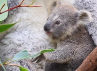 Videó: a koalabébi első eukaliptuszreggelije