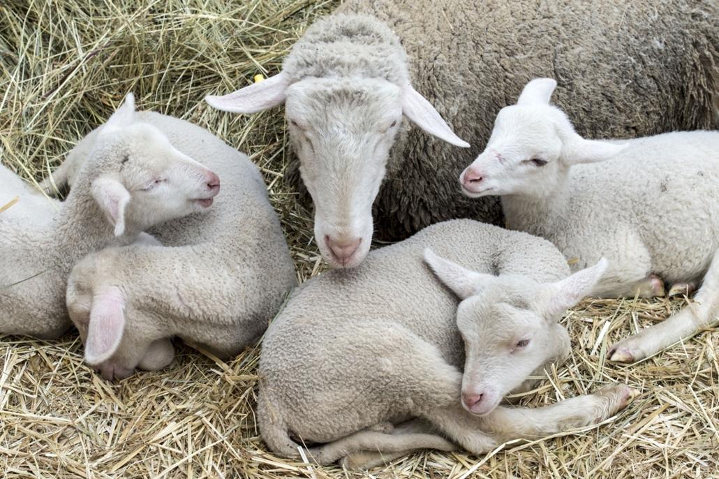 tg.16.03.26. - Bárányfesztivál a Vajdahunyad vára előtt - bárány, pui, húsvét