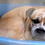 Megkegyelmeznek Hannoverben a gyilkos staffordshire kutyának