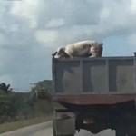 Megdöbbentő videó: az útra vetődött a mozgó teherautóból egy disznó