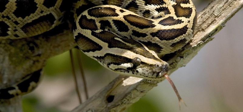 6 méter hosszú, 91 kilós kígyók okoznak egyre nagyobb kalamajkát az USA-ban