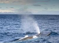 """""""Egészen elképesztő"""" számú kék bálna gyűlt össze egy Atlanti-óceánon fekvő szigetnél"""