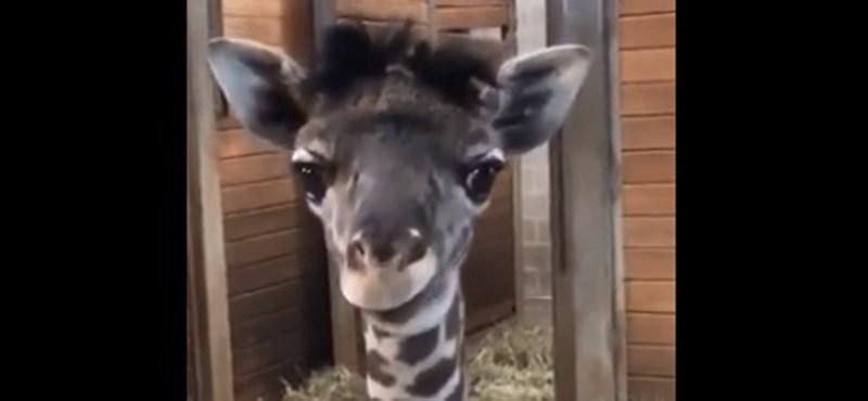 Bocs, de ez a zsiráfbébi elvitte a heti cukisági díjat (videó)