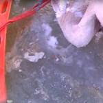 Speciális mentők szabadították ki a Tisza jegébe fagyott hattyút - videó