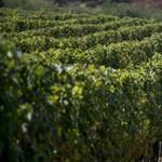 Egyetlen nagy mediterrán borvidék lesz Magyarországból