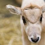 Fotók: ritka antilopok születtek Nyíregyházán