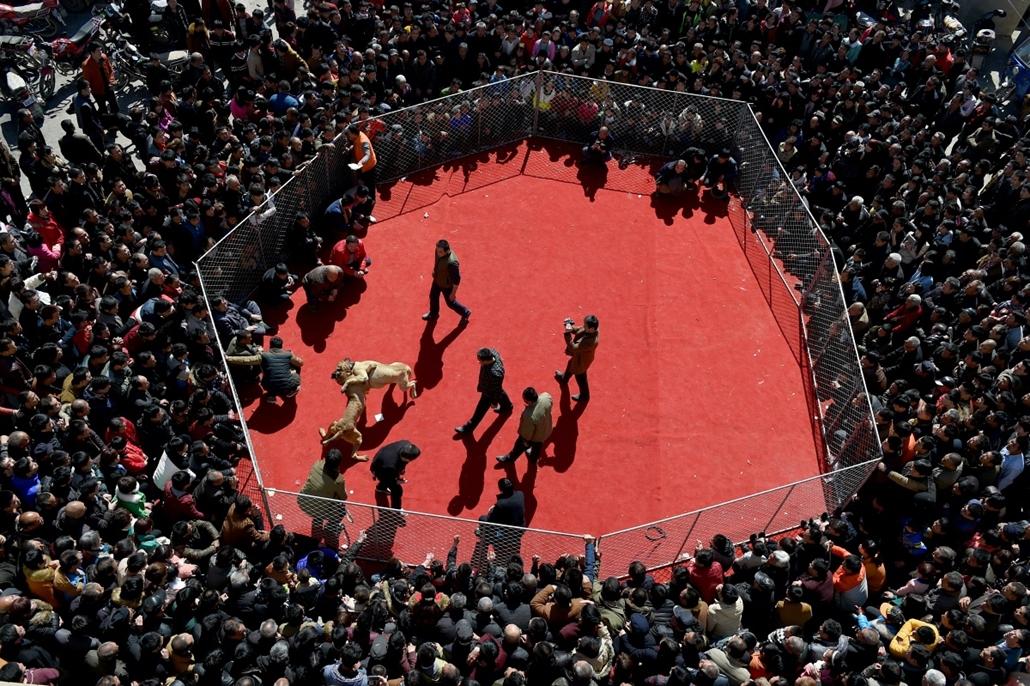 afp.15.03.03. - Yuncheng, Kína: kutyaviadal a Lámpás Fesztivál nyitóeseményeként a kínai Yuncseng városában - 7képei