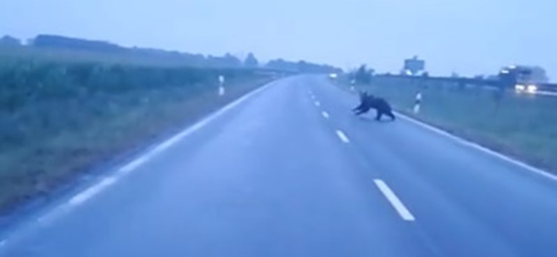 Átfutott a medve az úton Makónál, majd eltűnt a kukoricásban – videók