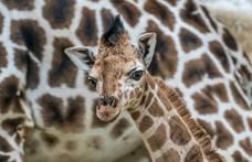 Mire jók a zsiráfok foltjai?