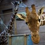 Megfejtették a zsiráf hosszú nyakának titkát
