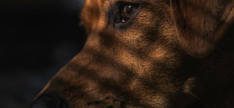 Elkezdik megvizsgálni, hogy a kutyák ki tudják-e a szagolni a koronavírust