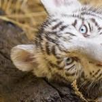 Pénteki cukiság: oltást kaptak a tigriskölykök Győrben