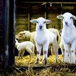 A Nébih kerülőutat javasol az állatszállítmányoknak