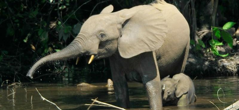 31 év alatt –86%: kihalás fenyegeti az erdei elefántokat