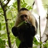 Koronavírus-teszteket lopott egy csapat majom Indiában
