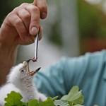 Fotók: Szépen cseperedik az ember által nevelt kis sasfióka