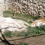 Tigris és medve nyomorog egy elhagyott állatkertben