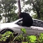 Közeledett az autójához a sofőr, amikor rádudált a medve – videó