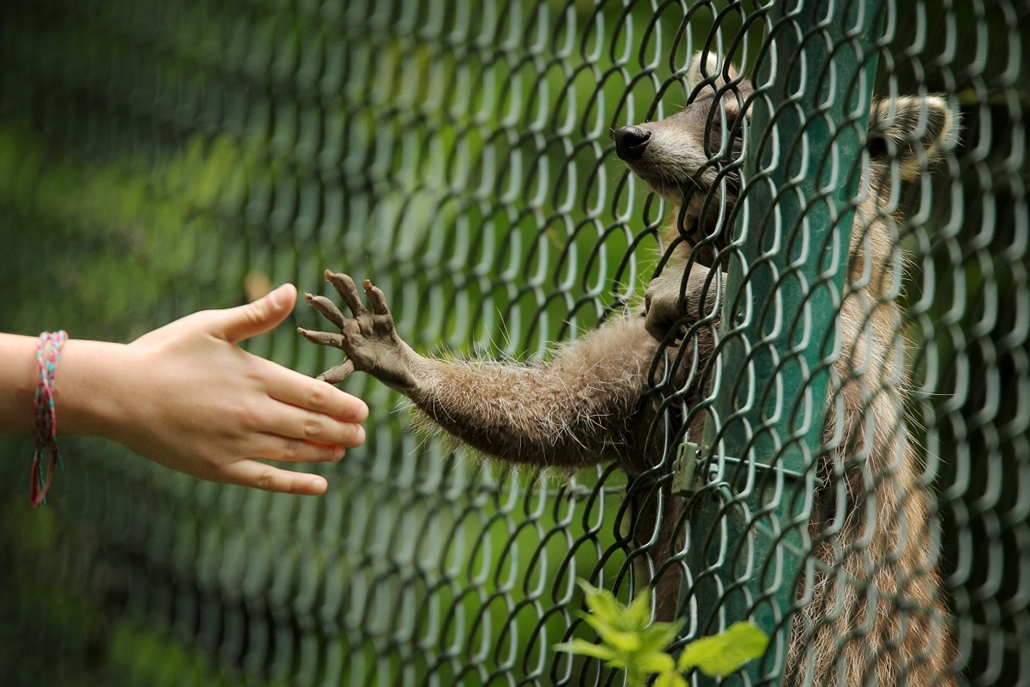 afp. 2014. állatos nagyítás, mosómedve, 2014.06.21. Németország, Wiesbaden : A raccoon reaches out with his paw to the hand of a visiting child at the zoo in Wiesbaden, southern Germany on June 21, 2014.