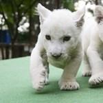 Napi cuki: Fehér oroszlánkölykök Abonyban