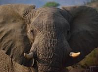 Tilos lesz cirkusznak vagy állatkertnek eladni befogott elefántokat