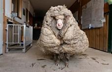 Ilyen volt, ilyen lett: 35 kiló gyapjútól szabadítottak meg egy elvadult juhot
