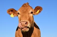 Lemészárolták egy Lengyeltótiban élő német gazda teheneit