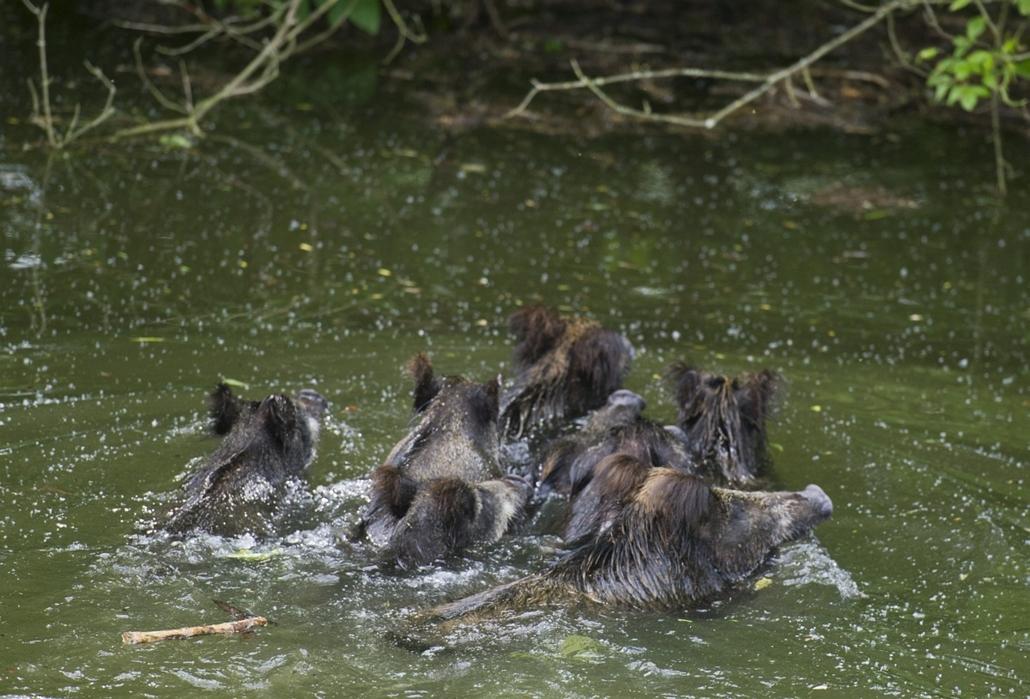 Árvíz 2013, Gemenc, menekülő vadak június 11.
