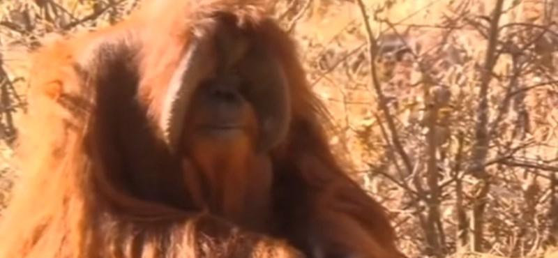 Elpusztult a jelnyelvet használó, tüneményes orangután