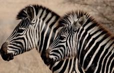 Végre megfejthették, miért csíkosak a zebrák