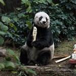 Fotó: 37. születésnapját ünnepelte Csia Csia, az óriáspanda