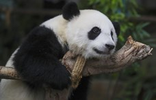 Bezárt az állatkert, tíz év után végre párosodtak a hongkongi pandák